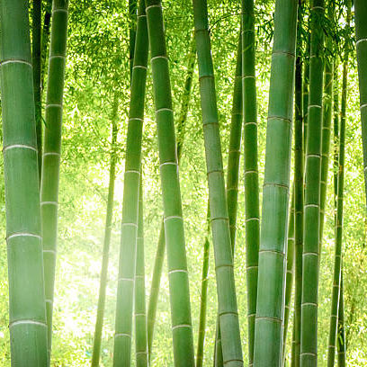Bamboo forest. Forest of a Japanese bamboo.